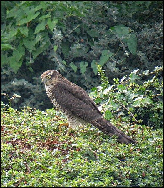 Sparrowhawk 170919
