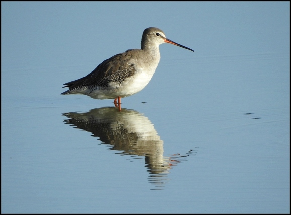Spotted Redshank 230919 1