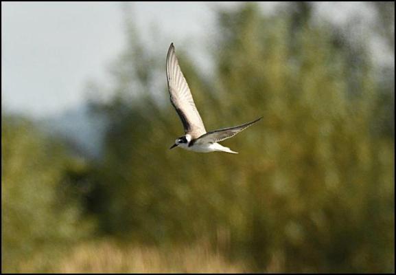 Black Tern 021019