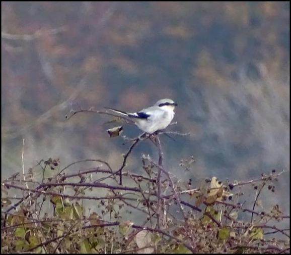 Great Grey Shrike 301019