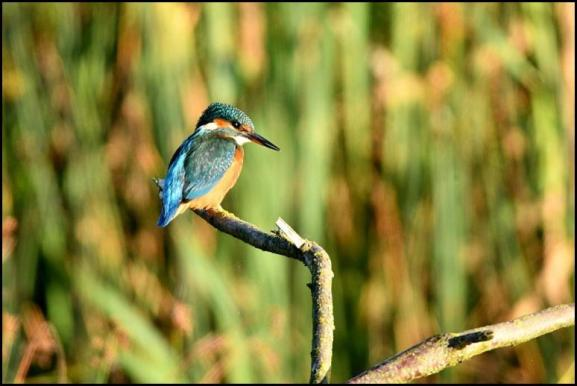 Kingfisher 021019