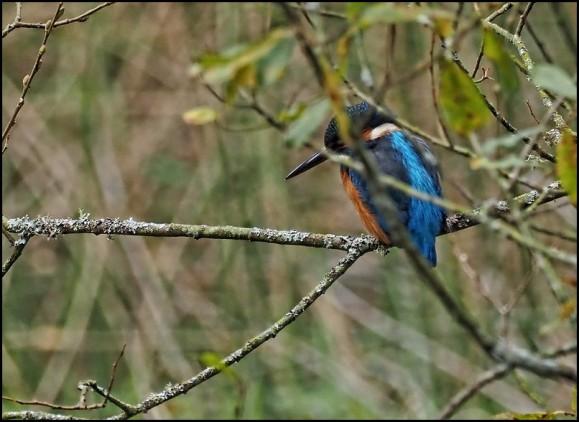 Kingfisher 311019