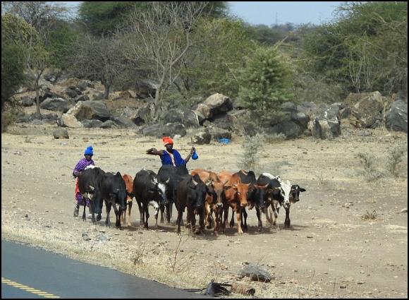 Masai Cows