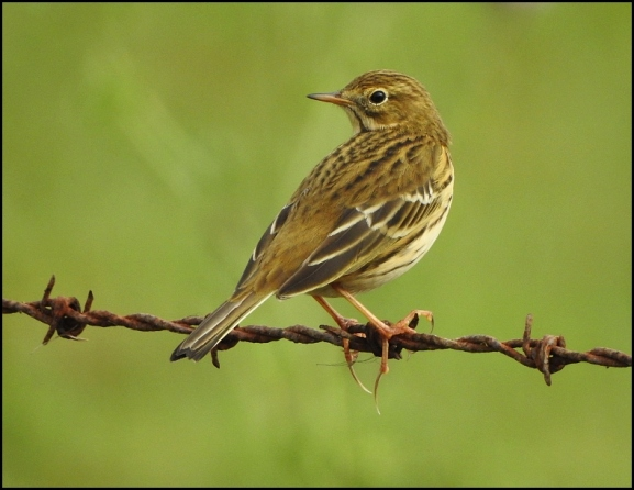 Meadow Pipit 051019