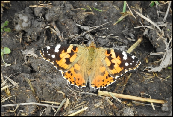 Painted Lady 021019