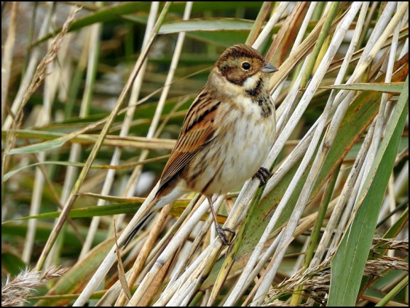 Reed Bunting 231019