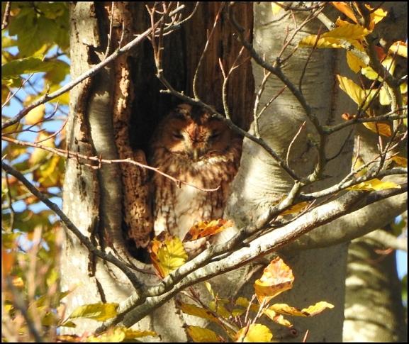 Tawny Owl 271019