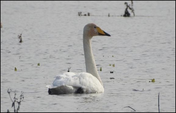 Whooper Swan 281019 1