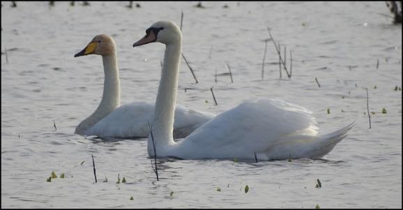 Whooper Swan 281019 2