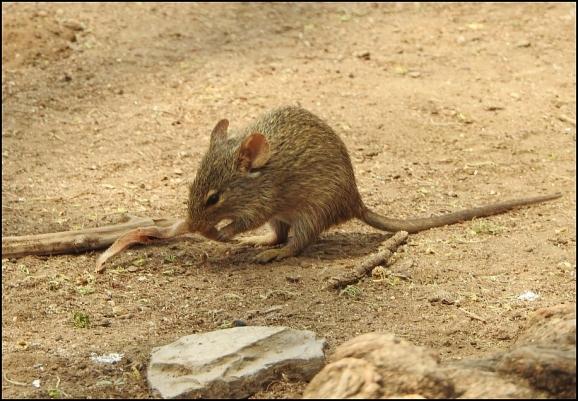 African Grass Rat