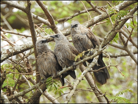 Arrow-marked Babblers
