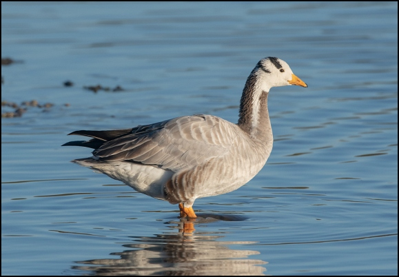 Bar-headed Goose 281119