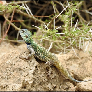 Blue-headed Agama