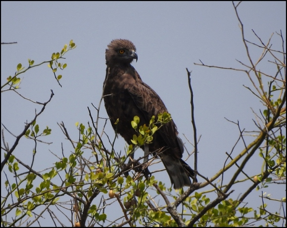 Brown Snake Eagle