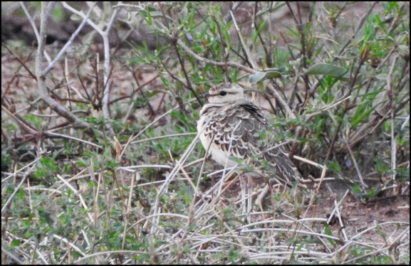 Double-banded Courser