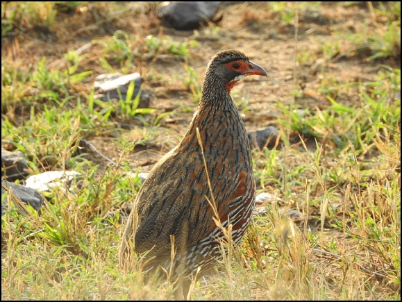 Grey-breasted Spurfowl 2