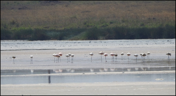 Lesser Flamingoes 1