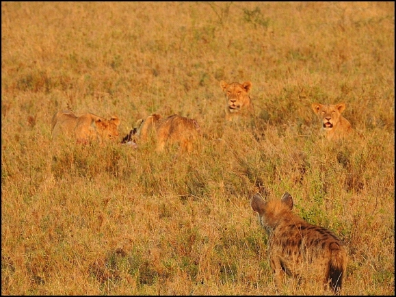Lion kill 3