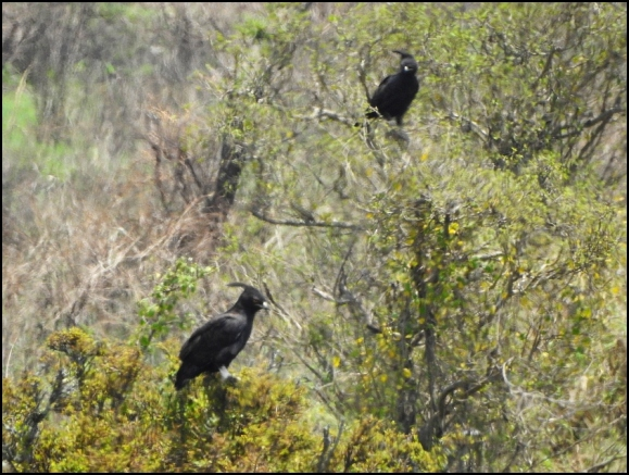 Long-crested Eagles