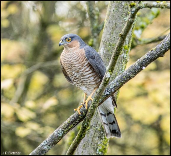 Sparrowhawk 181119