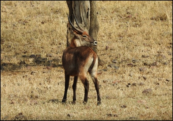 Waterbuck Defassa race