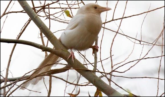 Albino Magpie 071219