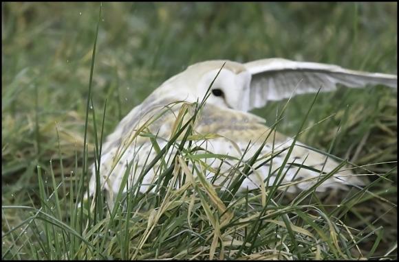 Barn Owl 301219