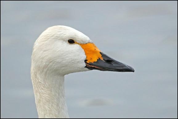 Bewick's Swan 161219
