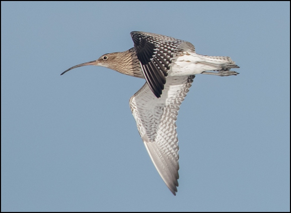 Curlew 081219