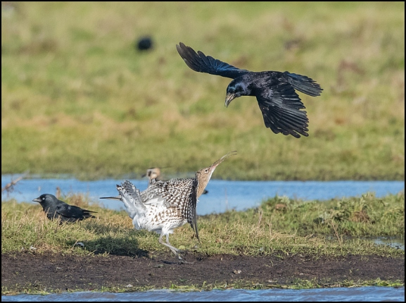 Curlew & Rook 081219
