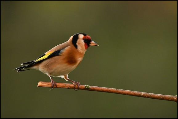 Goldfinch 261219