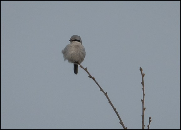Great Grey Shrike 281219 1