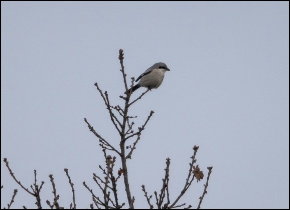 Great Grey Shrike 281219 2