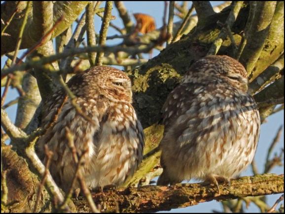 Little Owls 021219
