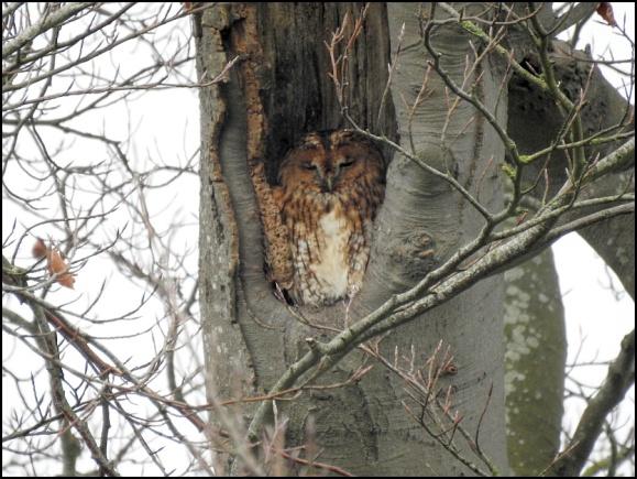 Tawny Owl 301219