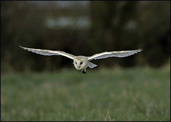 Barn Owl 180120 1