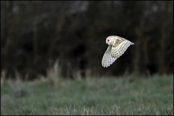 Barn Owl 180120 2