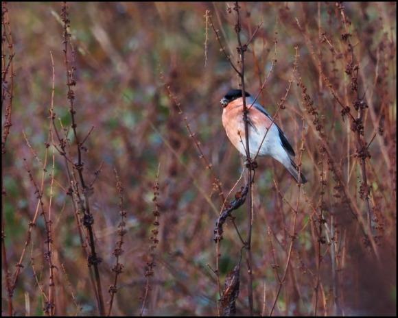 Bullfinch 150120