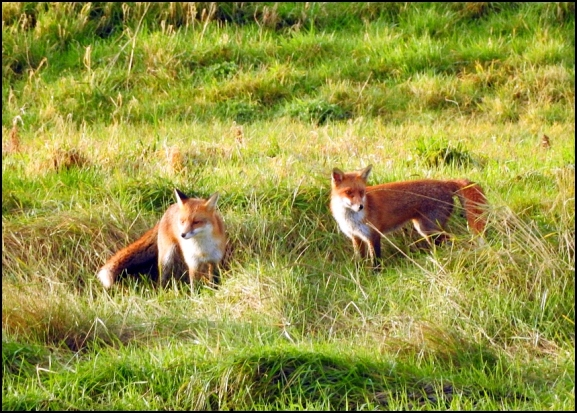 Foxes 270120