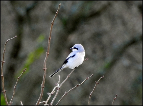 Great Grey Shrike 100120