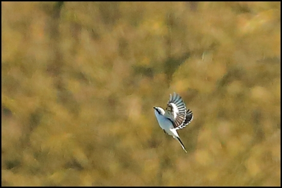 Great Grey Shrike 190120 1