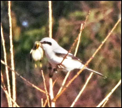 Great Grey Shrike 2 100120