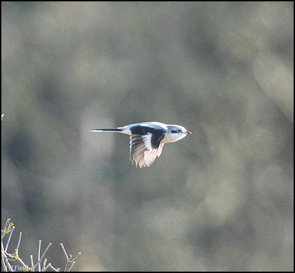 Great Grey Shrike 290120 2