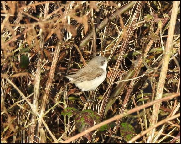 Lesser Whitethroat blythi 160120