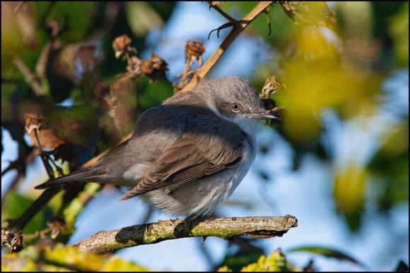 Lesser Whitethroat blythi 180120