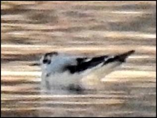 Little Gull 210120