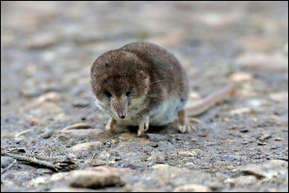 Pygmy Shrew 040120