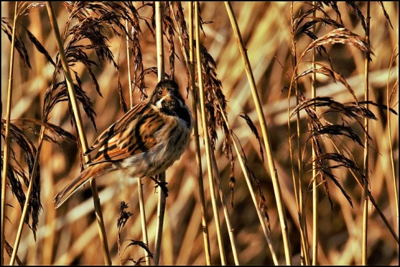 Reed Bunting 210120