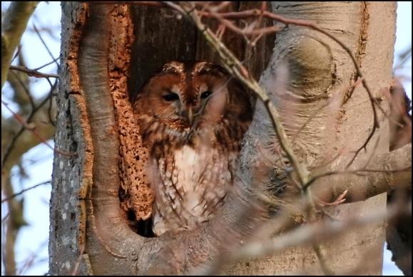 Tawny Owl 160120