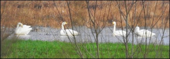 Whooper Swans 040120